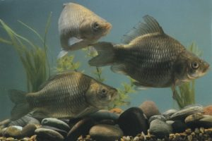 Крупная рыба в пруду